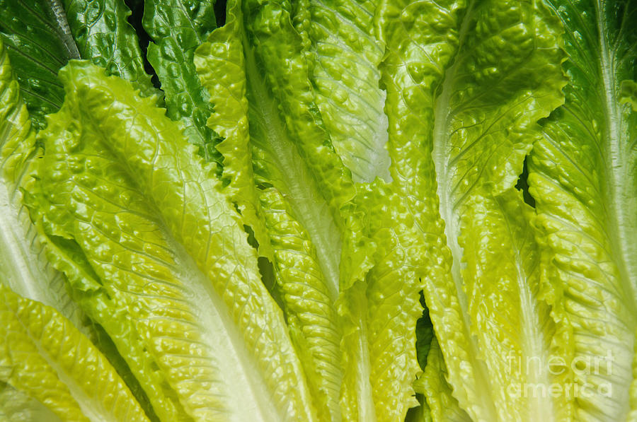 Romaine-lettuce Photograph - The Heart Of Romaine by Andee Design