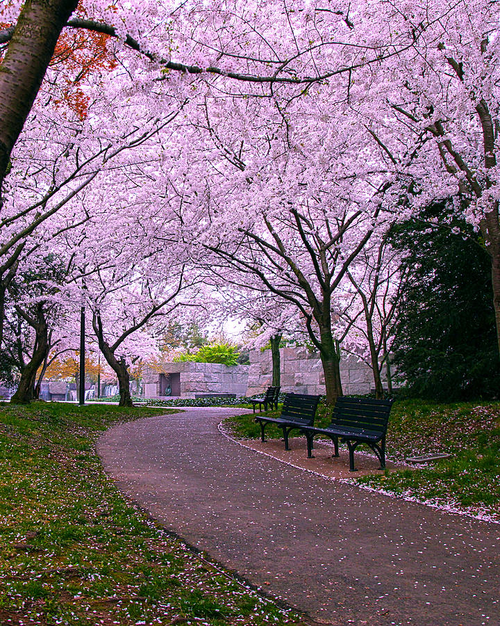 Cherry Blossoms Photograph - The Hope by Mitch Cat