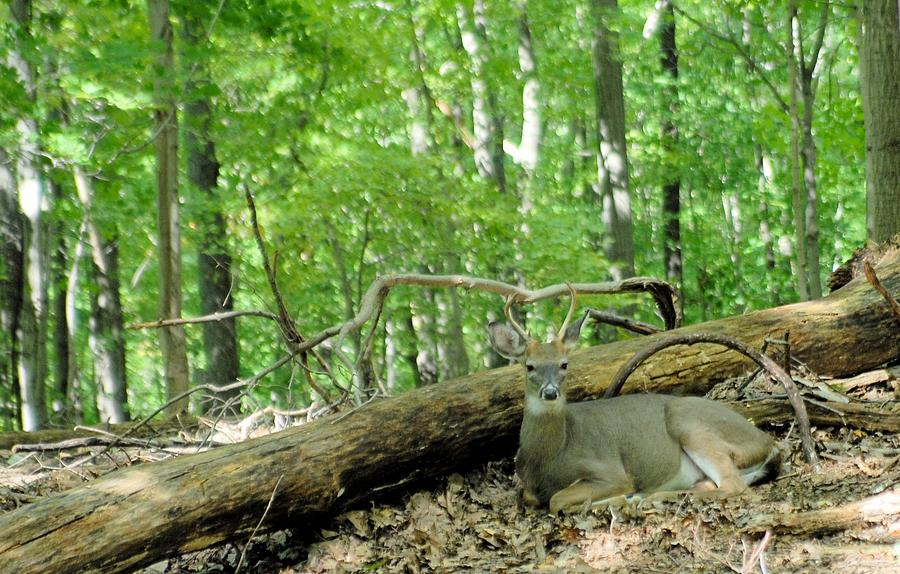 Buck Photograph - The King Rests by