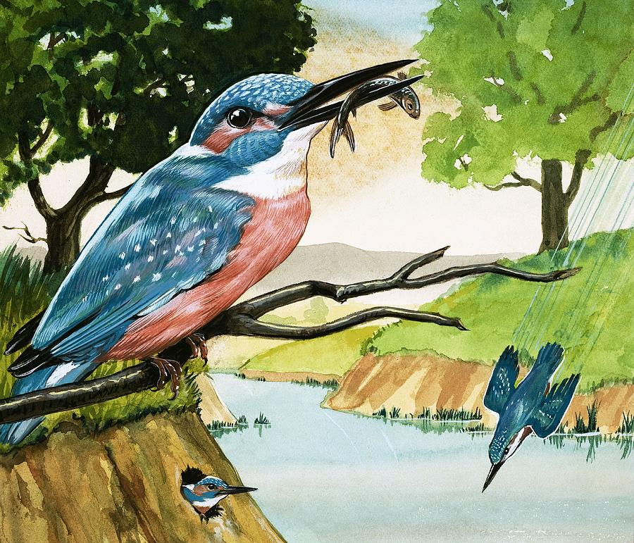 European Water Snake; Kingfisher; Heron; Portuguese Man Of War; Jellyfish; Birds; Snake; Reptiles; Animals; Fish; Fishing; River Painting - The Kingfisher by D A Forrest