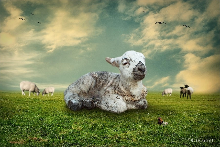 Adorable Photograph - The Lamb by Ethiriel  Photography