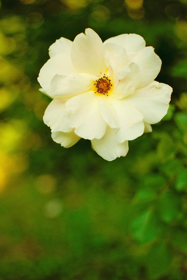 Rose Photograph - The Last Rose by Robin Morse