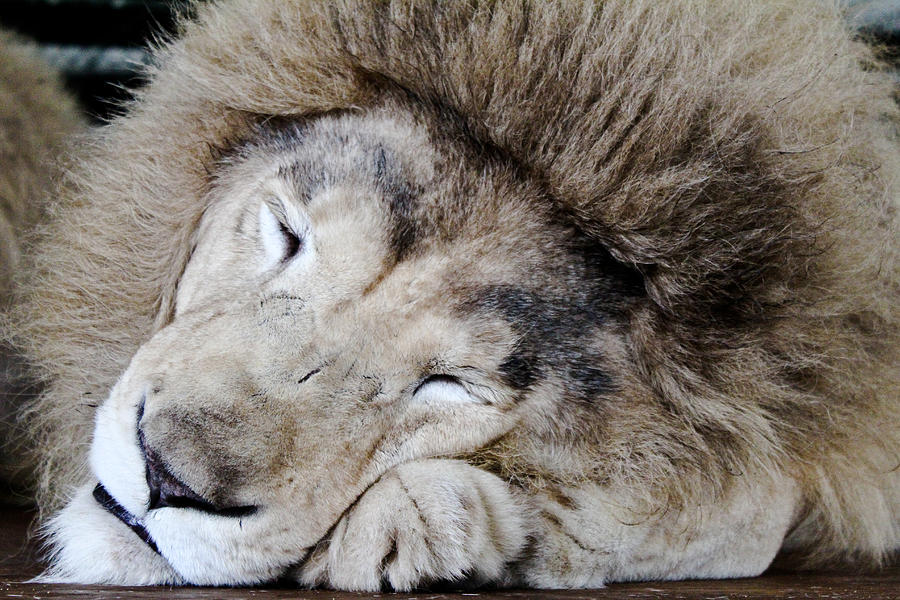 Lion Photograph - The Lion Sleeps by Elizabeth Hart