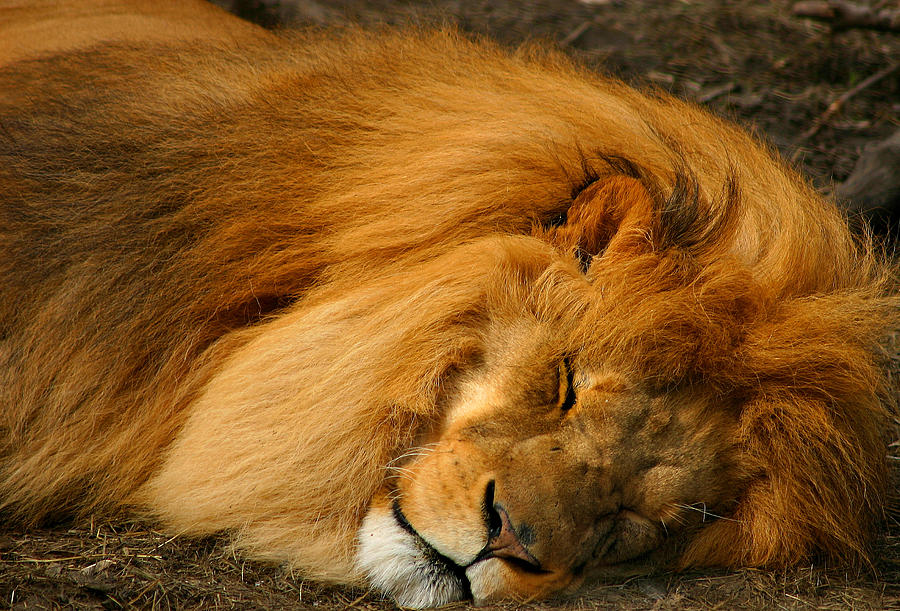 The Lion Sleeps Tonight Photograph by Cindy Haggerty