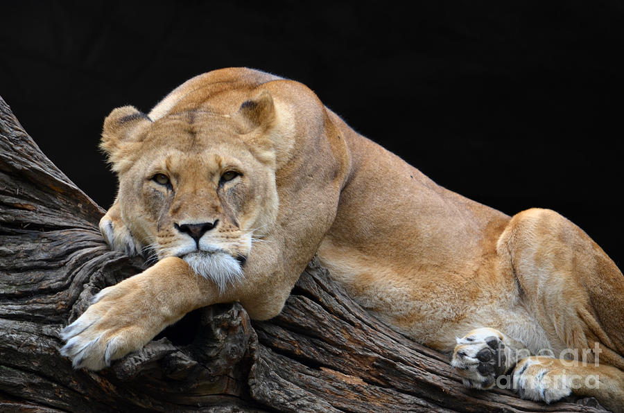 Lion Digital Art - The Lioness Is Watching You by Eva Kaufman
