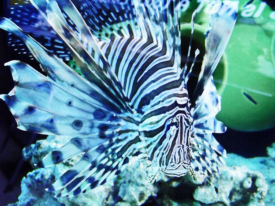 Lionfish Photograph - The Lionfish 1 by Robin Hewitt