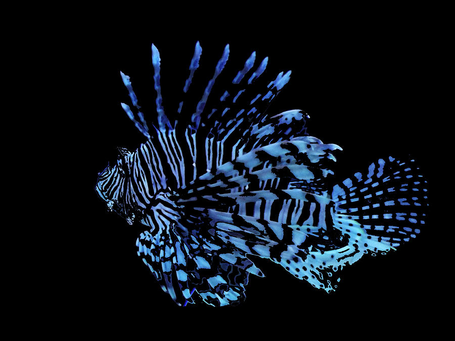 Lionfish Photograph - The Lionfish 3 by Robin Cox
