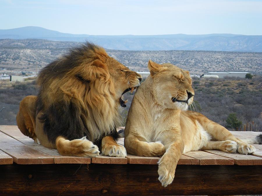 Wildlife Photograph - The Lions by Olga Vlasenko
