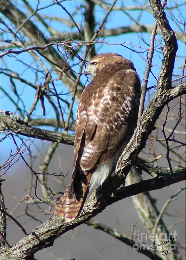 Hawk Photograph - The Lookout by Laurinda Bowling