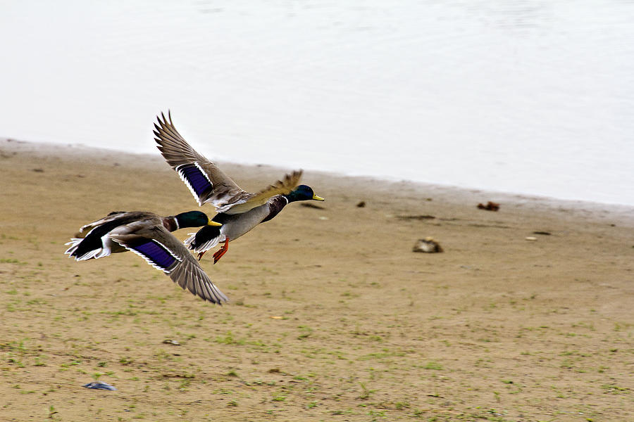 Mallard Ducks Photograph - The Mallard Ducks Flight by Douglas Barnard