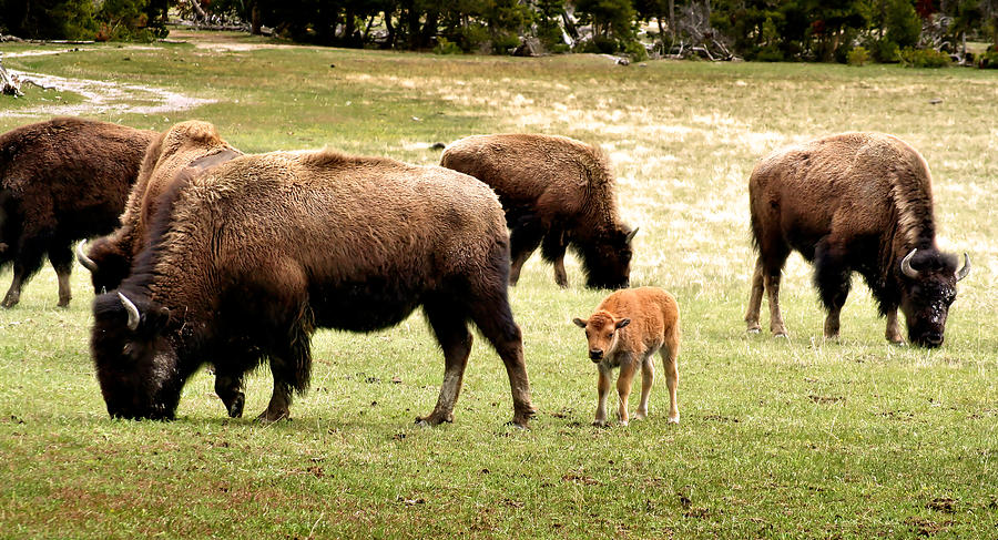 Bison Photograph - The Mighty Bison by Ellen Heaverlo