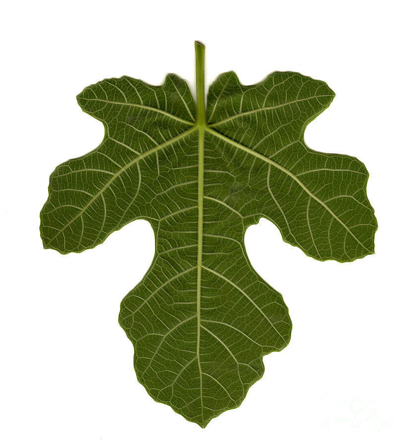 Fig leaf images 82
