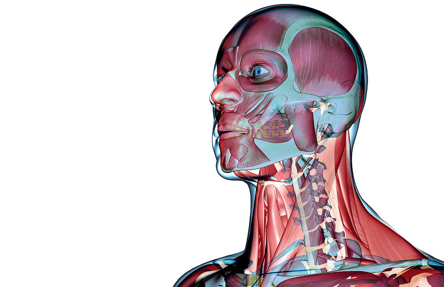The Muscles Of The Head And Neck By Medicalrf