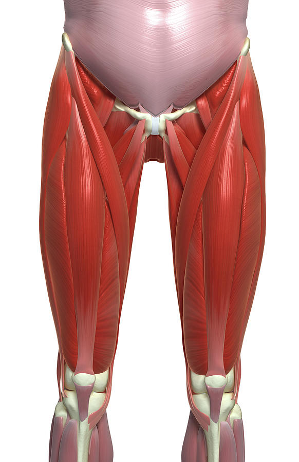 Vertical Photograph - The Muscles Of The Lower Limb by MedicalRF.com