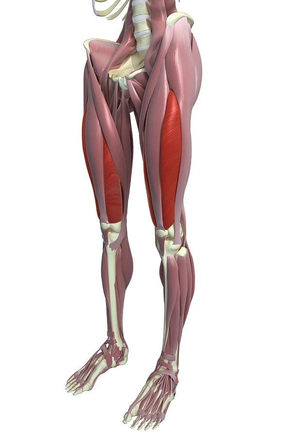 The Muscles Of The Thigh Photograph by MedicalRF.com
