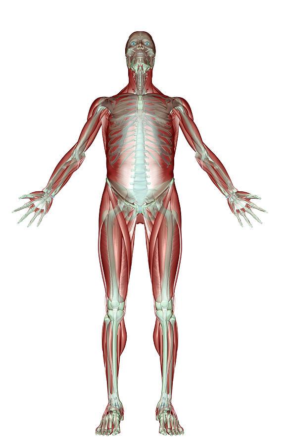 The Musculoskeletal System Digital Art by MedicalRF.com