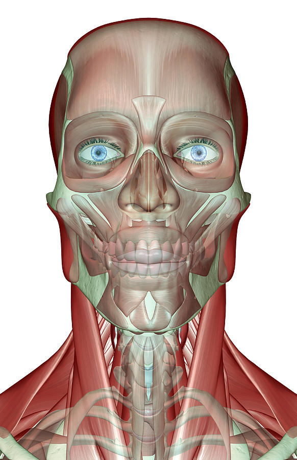 Vertical Digital Art - The Musculoskeleton Of The Head, Neck And Face by MedicalRF.com