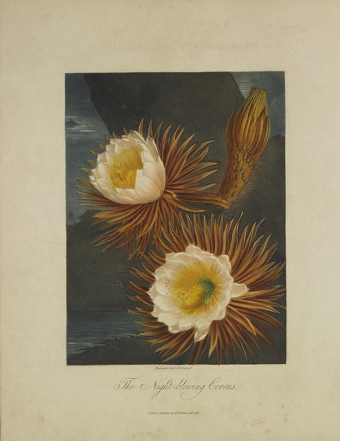 Thornton Drawing - The Night-blooming Cereus by Robert John Thornton