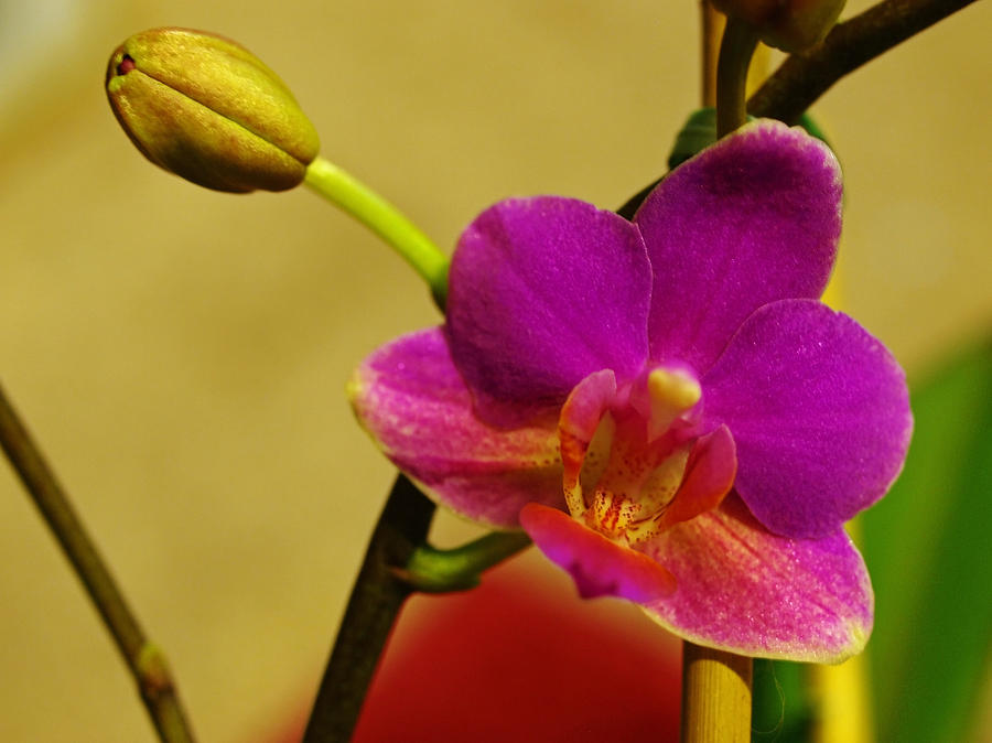 Flower Photograph - The Original Orchid by Teri Schuster