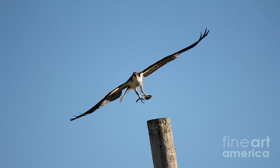 Birds Photograph - The Ospreys First Catch Collection Image I by Scenesational Photos