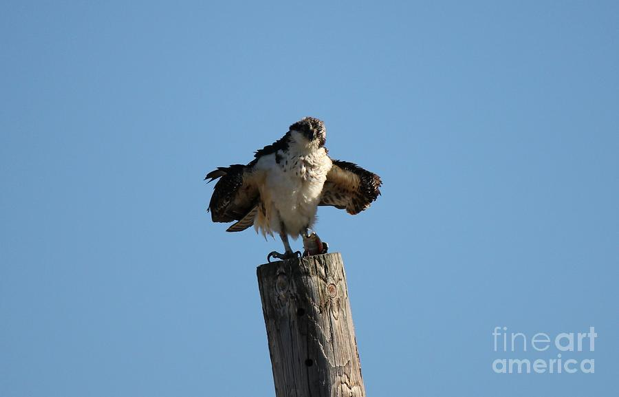 Birds Photograph - The Ospreys First Catch Collection Image II by Scenesational Photos
