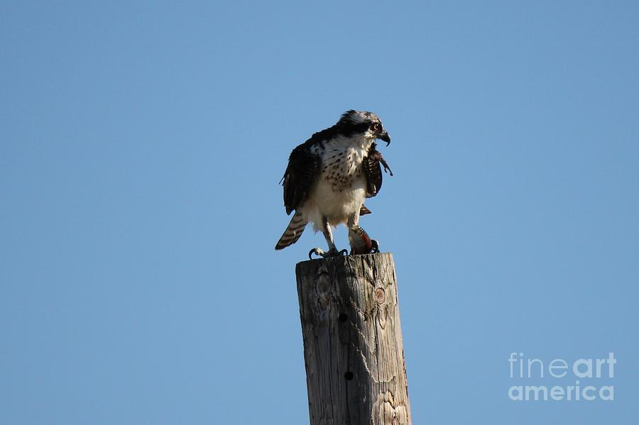 Birds Photograph - The Ospreys First Catch Collection Image IV by Scenesational Photos