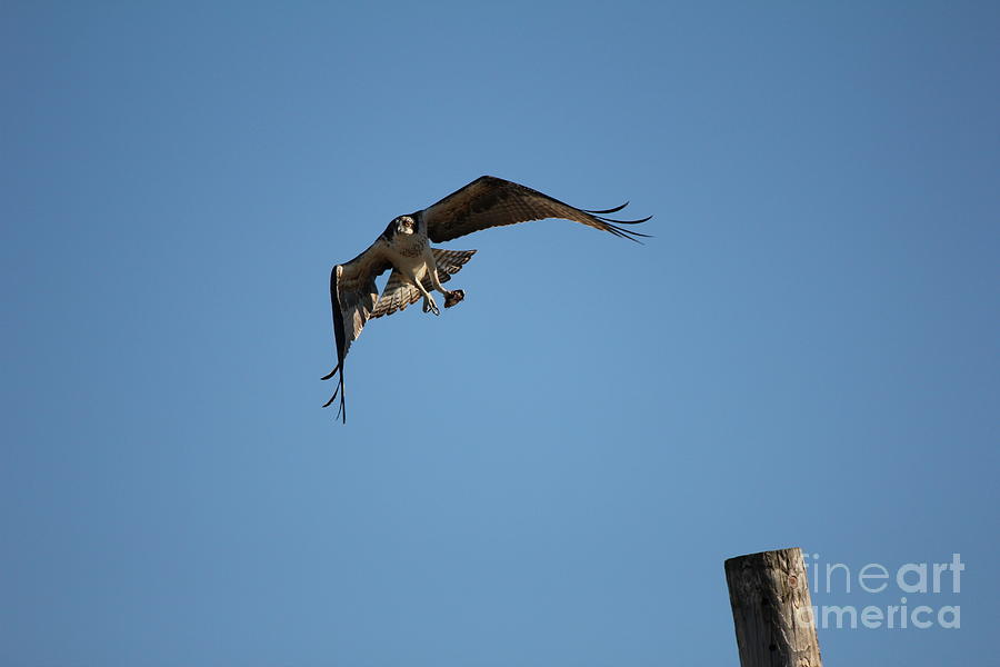 Birds Photograph - The Ospreys First Catch Collection Image V by Scenesational Photos