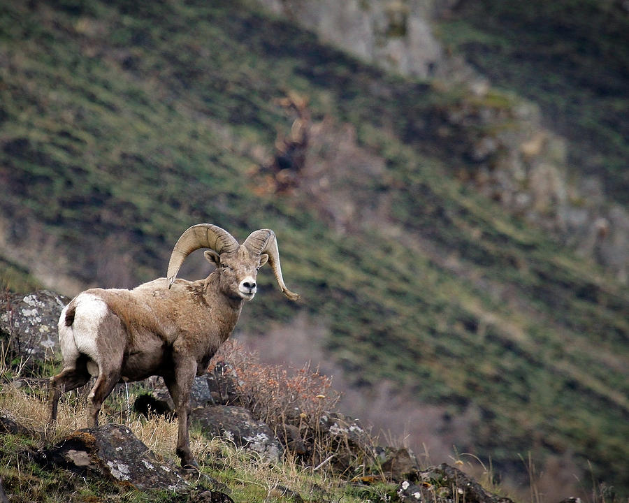 Bighorn Sheep Photograph - The Overlook by Steve McKinzie