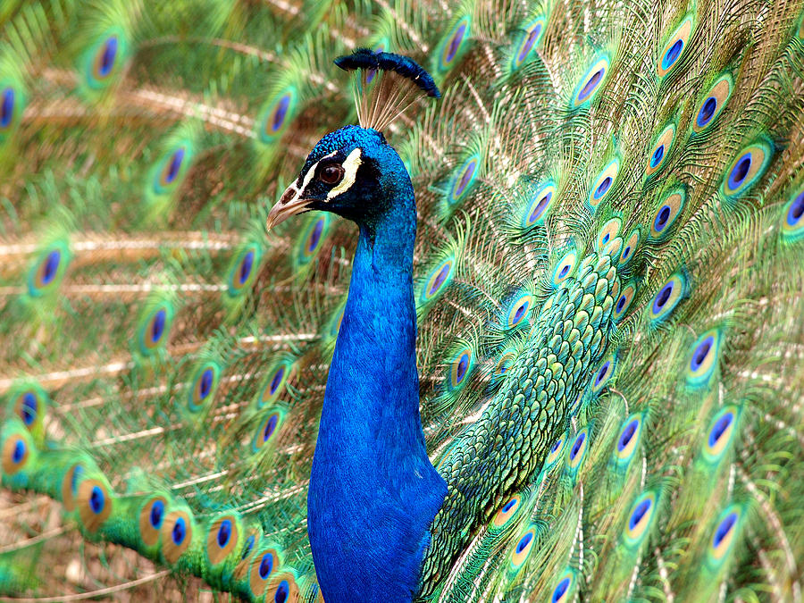 Peacock Photograph - The Peacock by Paul Ge