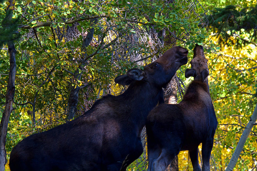 Moose Photograph - The Picnic In The Park by Jim Garrison