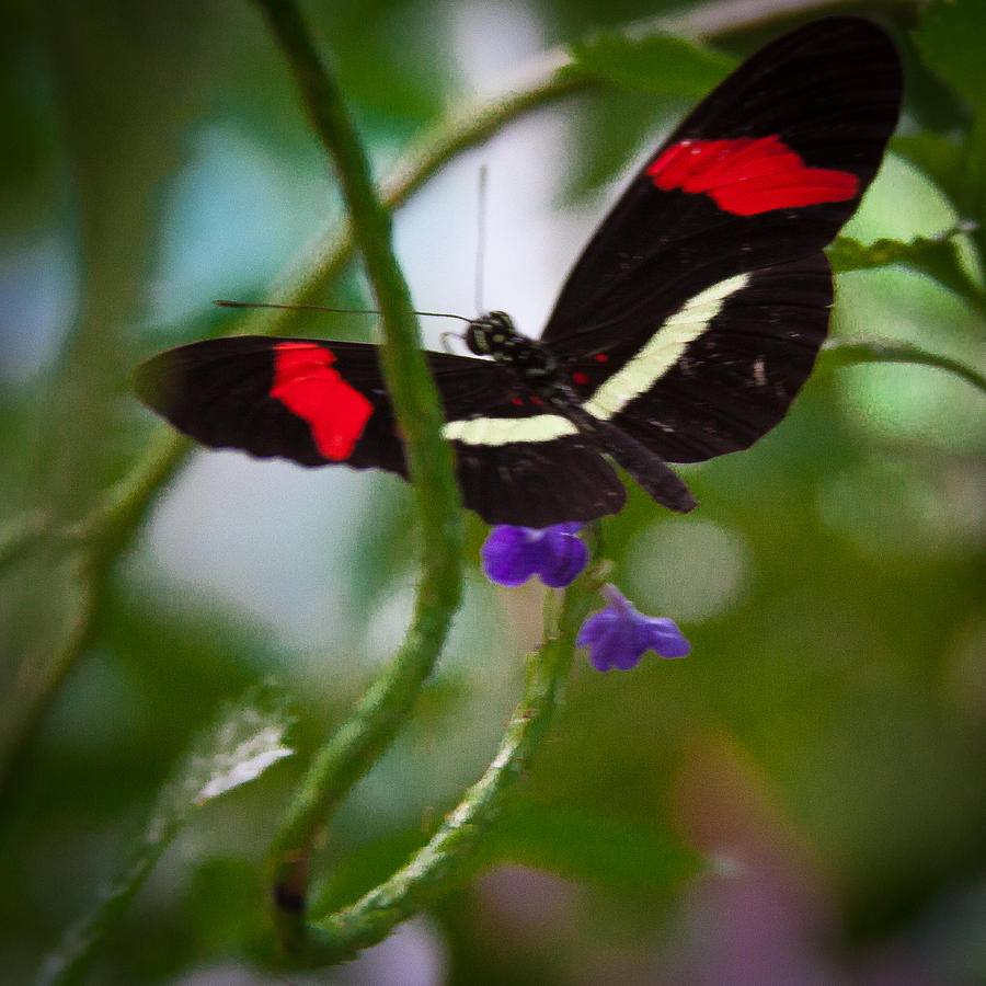 Butterfly Photograph - The Postman Butterfly by David Patterson