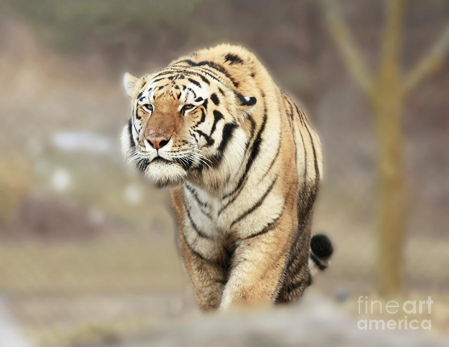 Tiger Photograph - The Prowler by Inspired Nature Photography Fine Art Photography