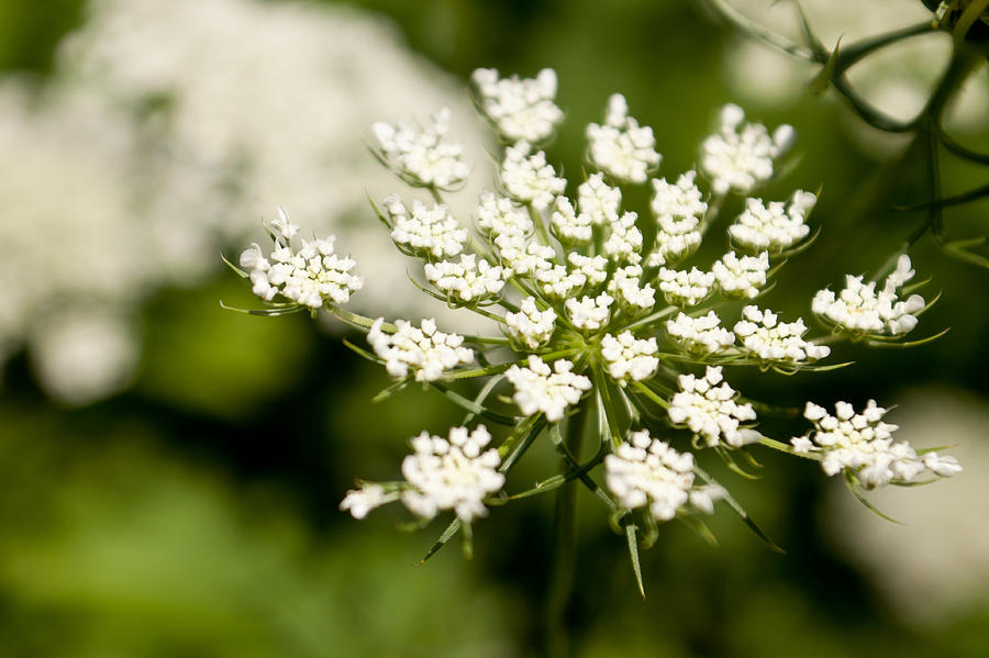 Queen Annes Lace Photograph - The Queen by Lauri Novak