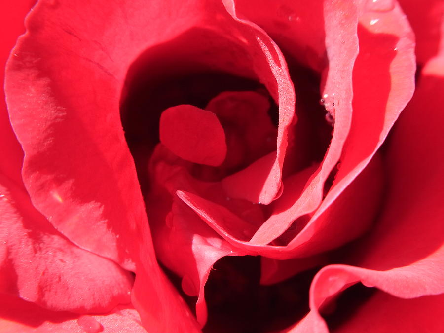 Rose Photograph - The Red Labyrinth by Geoff Leckey
