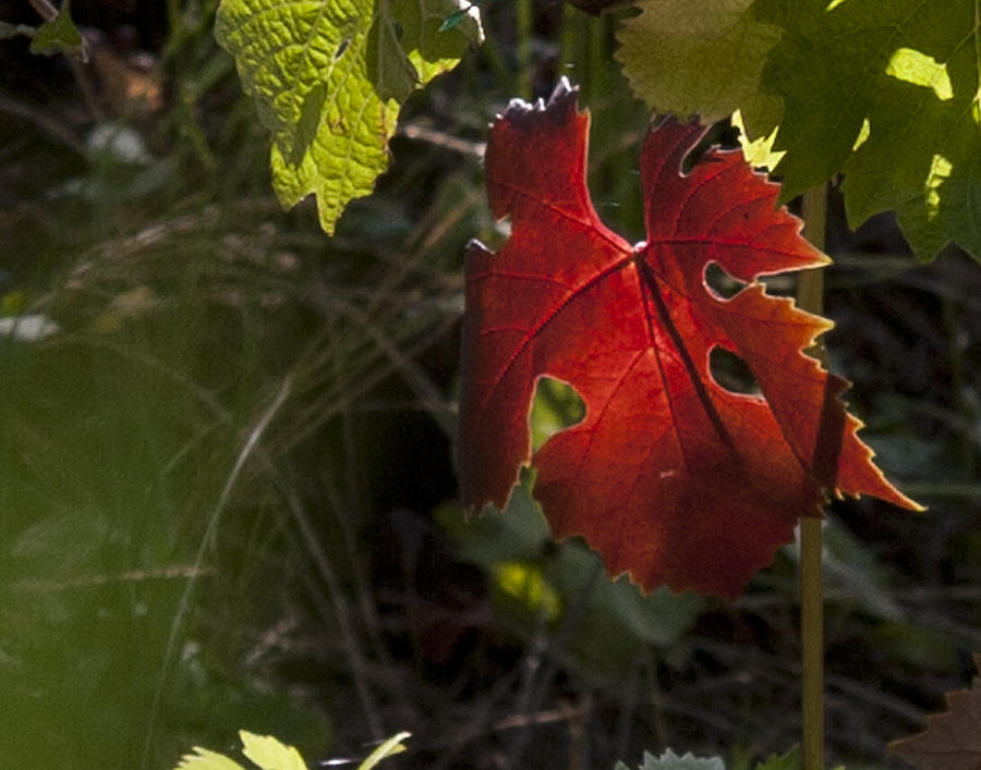 Grape Leaf Photograph - The Red Leaf of Fall IMG 0108 by Torrey E Smith