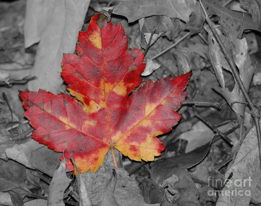 Fall Photograph - The Red Leaf by Paul Ward