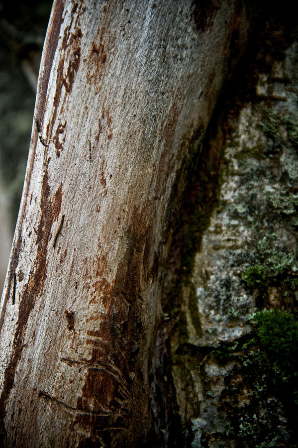 Trees Photograph - The Rough And The Smooth by Odd Jeppesen