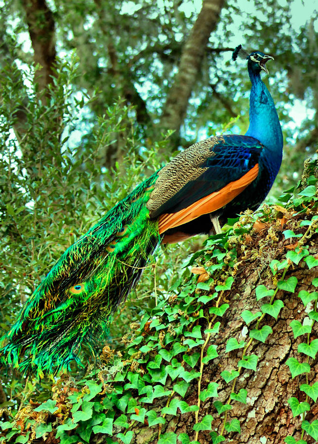 Peacock Photograph - The Scream by Kristin Elmquist