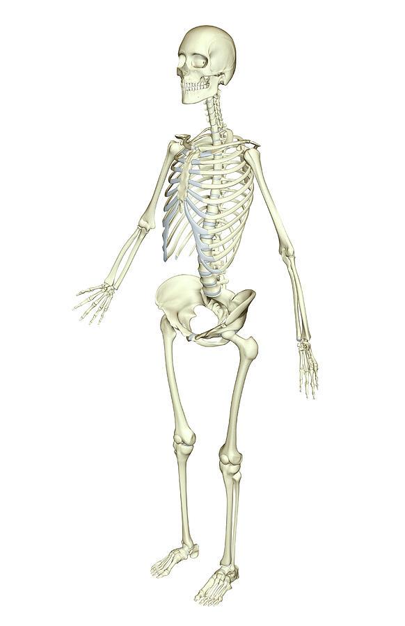 Vertical Photograph - The Skeletal System by MedicalRF.com
