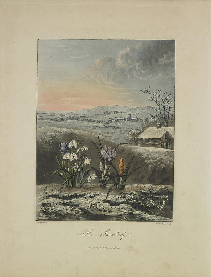 Thornton Drawing - The Snowdrop by Robert John Thornton