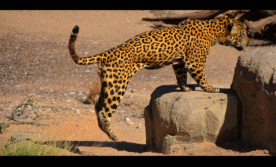 Jaguar Photograph - The Spotted Cat by Farah Faizal