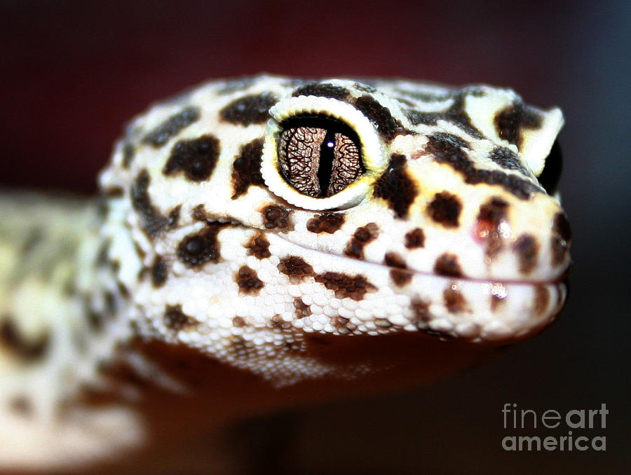 Leopard Gecko Photograph - The Stare by Rachel  Harris