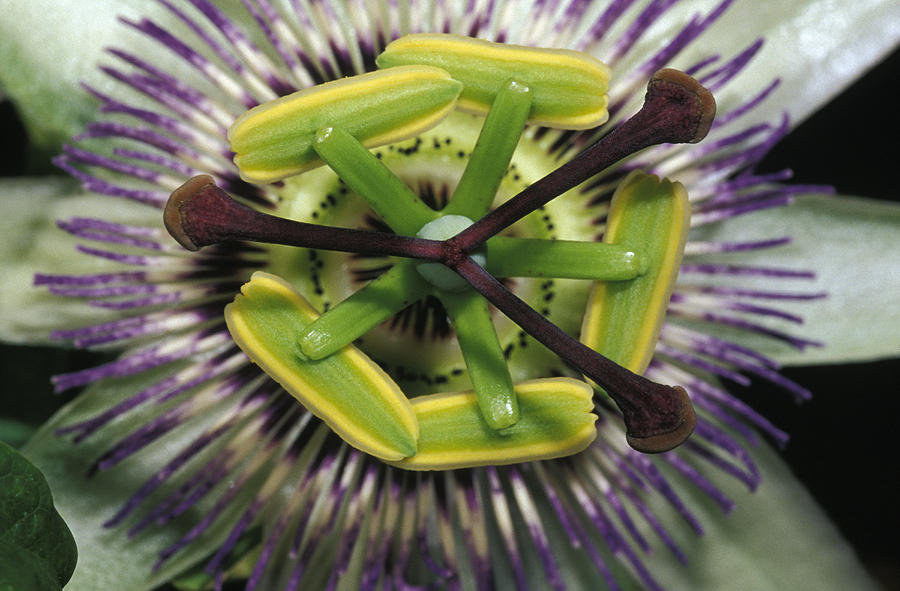 Passionfruit Photograph - The Startling Petals And Stamen by Jason Edwards