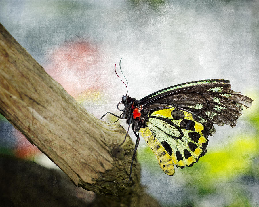 Cairns Birdwing Photograph - The Stillness Of A Butterfly by Laura George