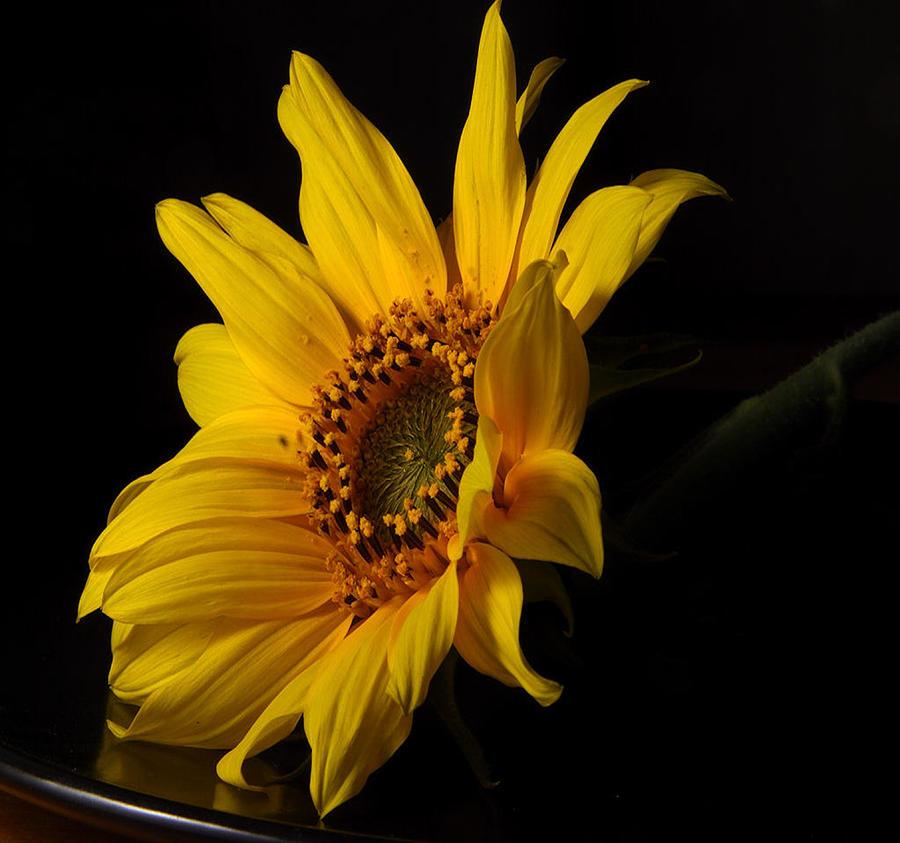 The Sun Flower  Photograph by Davor Sintic