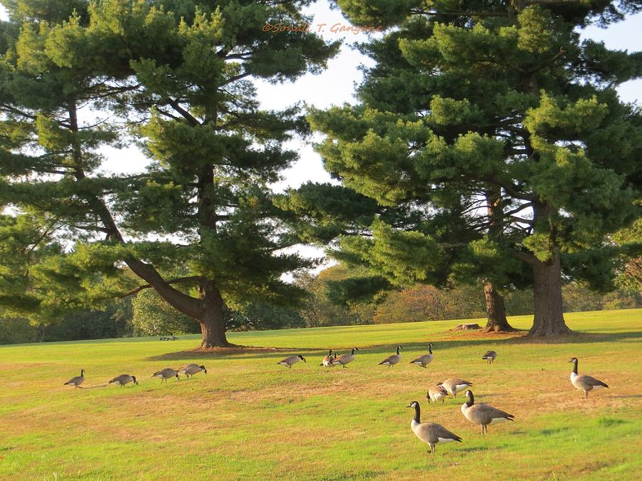 Geese Stroll Photograph - The Sunny Stroll by Sonali Gangane