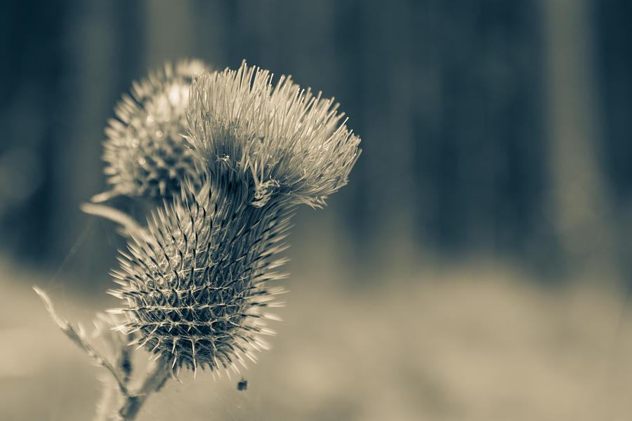 Thistles Photograph - The Thistle by Andreas Levi