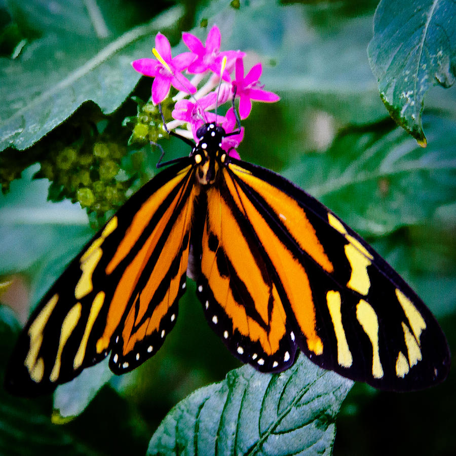 Butterfly Photograph - The Tiger Butterfly by David Patterson
