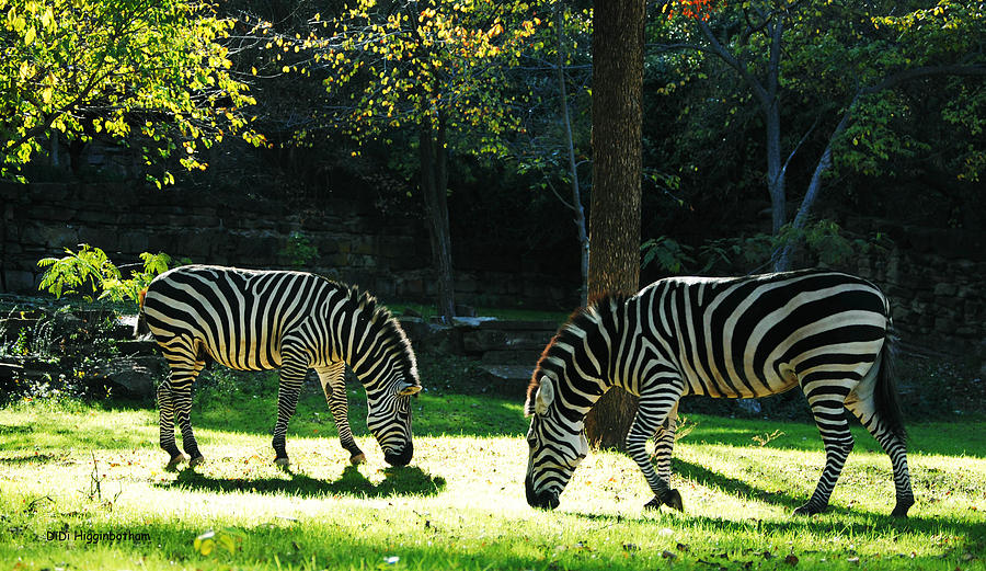 Zebra Photograph - The Tranquility Of Grazing by DiDi Higginbotham