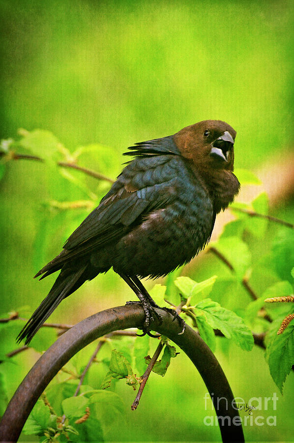 Cowbird Photograph - The Usurper by Lois Bryan